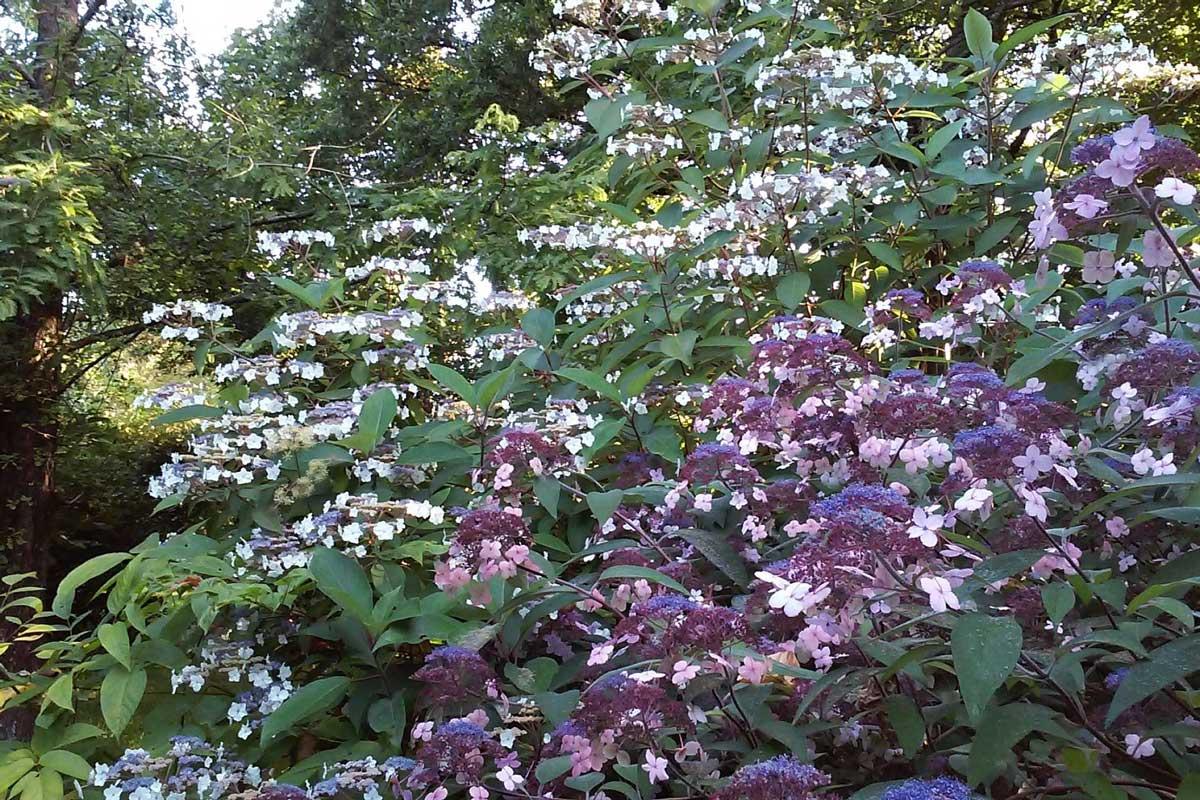 Hydrangea du jardin de Kerusten