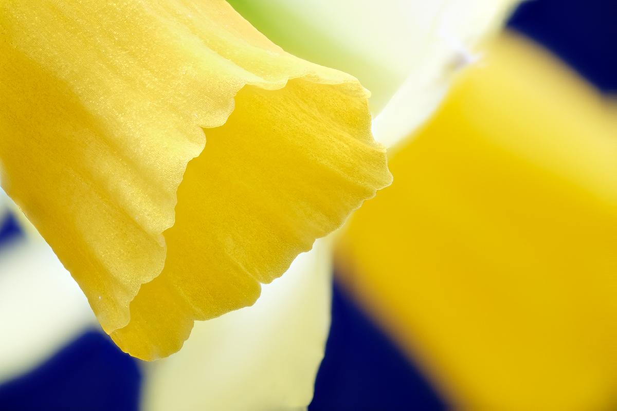 Narcissus © Didier Hirsch