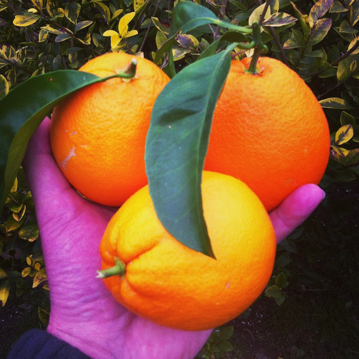 Citrus : Orange navel - Hortus Focus
