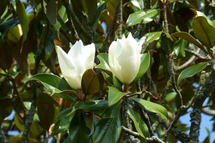 magnolia - Hortus Focus