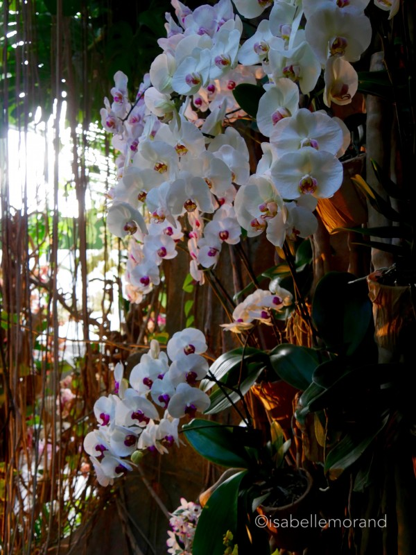 Phalaenopsis Vacherot et Lecoufle