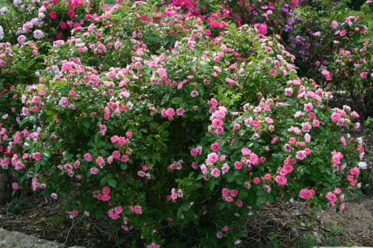 Rosa 'Pink Grootendorst'