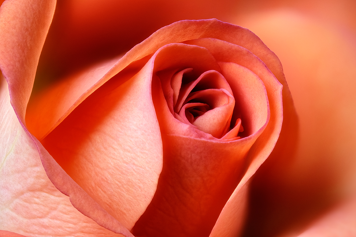 Rose Orange @Didier Hirsch