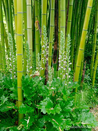 acanthe-et-bambous