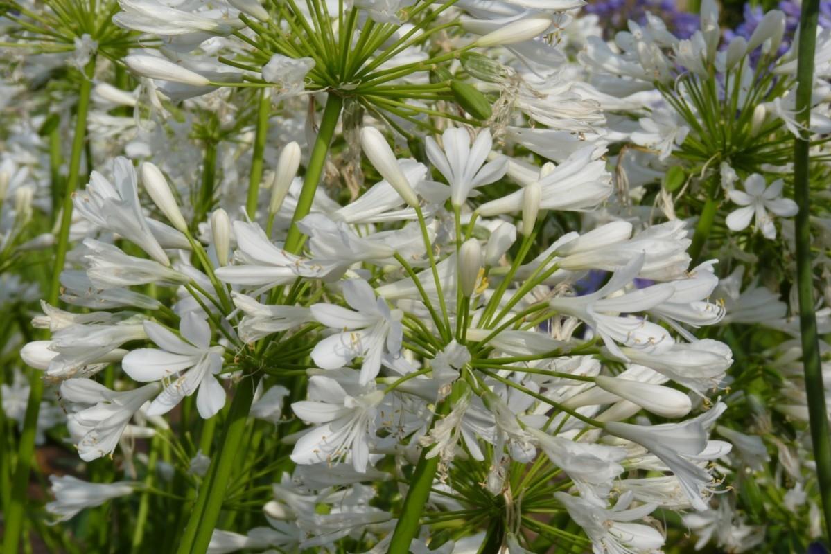 Agapanthe 'Bridal Bouquet'