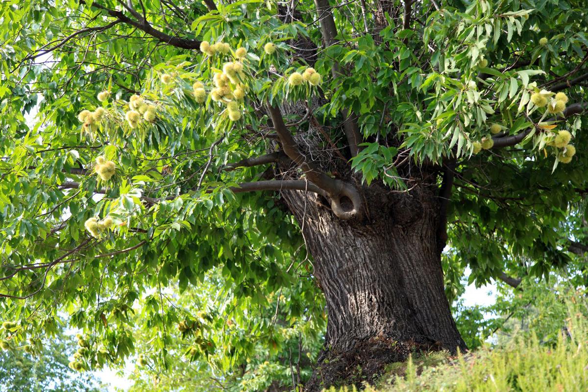 le chataignier, votre arbre protecteur | hortus focus i mag