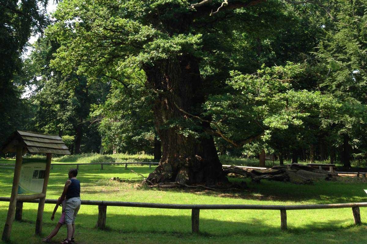 Le chêne Ivenack est le plus vieux d'Europe Centrale