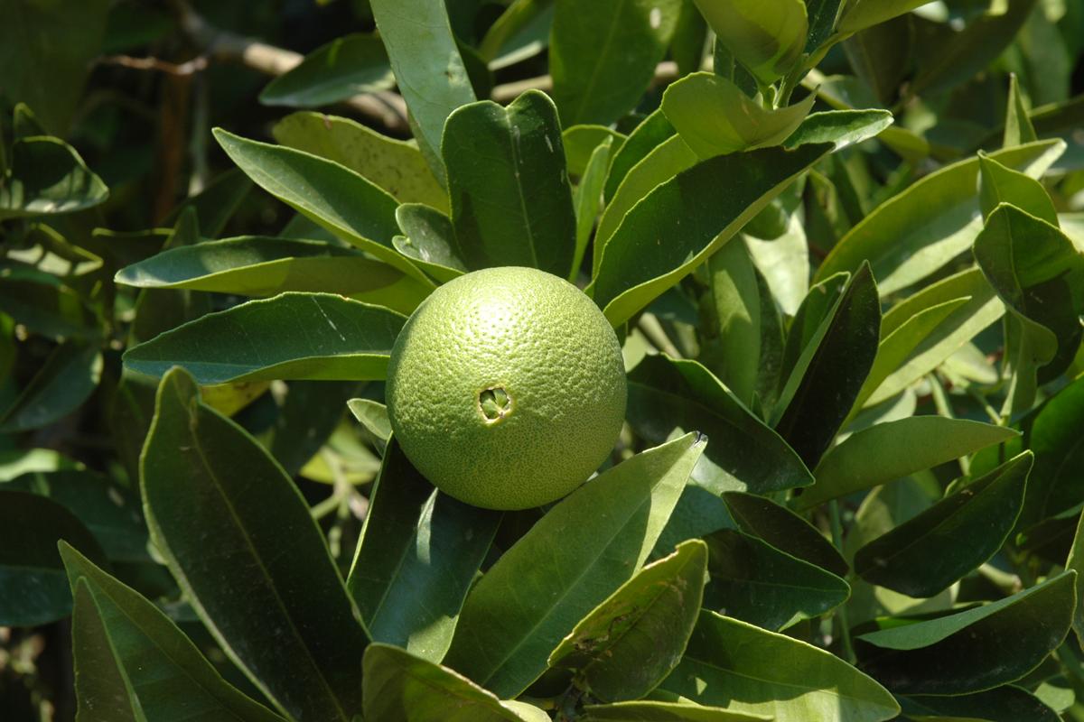 Citrus : citrons verts Hortus Focus