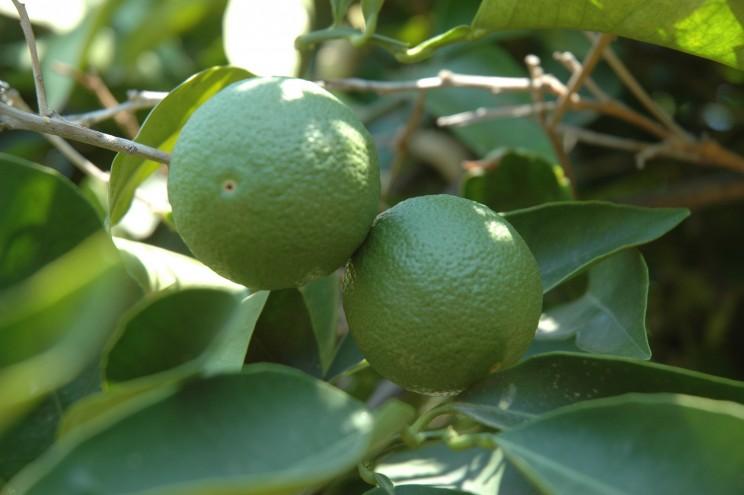 Citrons sur citronnier