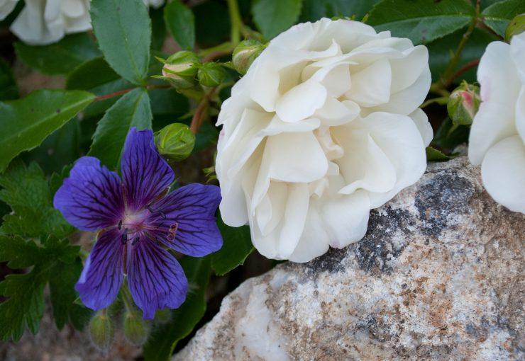 Geranium magnificum et rose