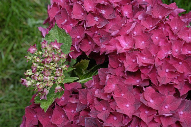 Hydrangea macrophylla 'Magical Ruby'. ©D. Hirsch
