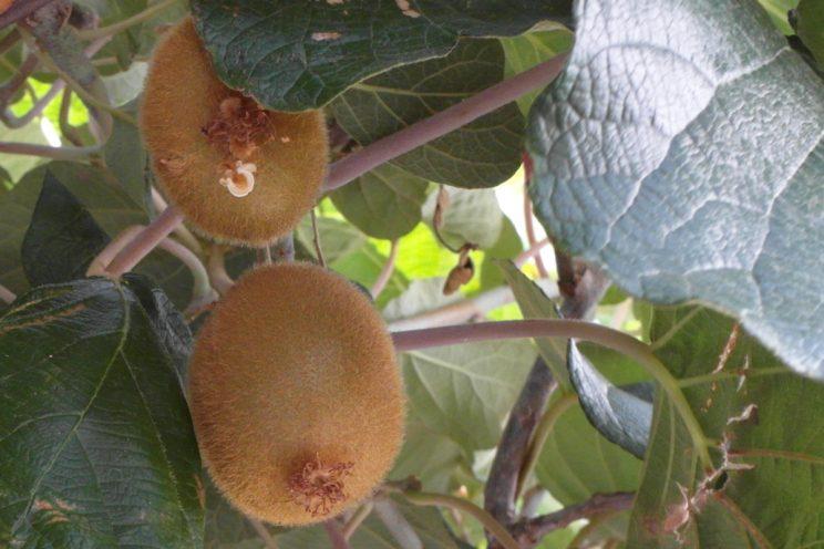 Kiwi sur l'arbre
