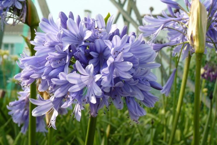 Agapanthe 'Lavender Haze'