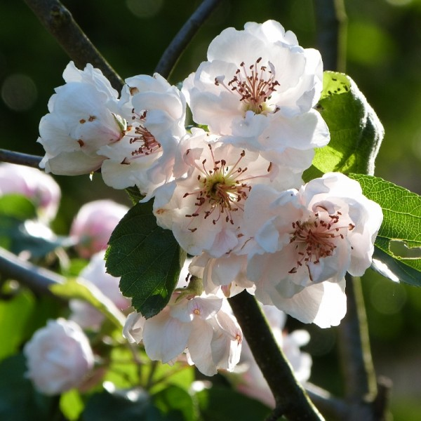 Pommiers d'ornements : malus charlottae - gros plan sur les fleurs - mai 2015 (800x800)