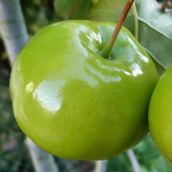 Pommiers d'ornements : malus charlottae - gros plan sur une pomme - septembre 2015 (800x800)