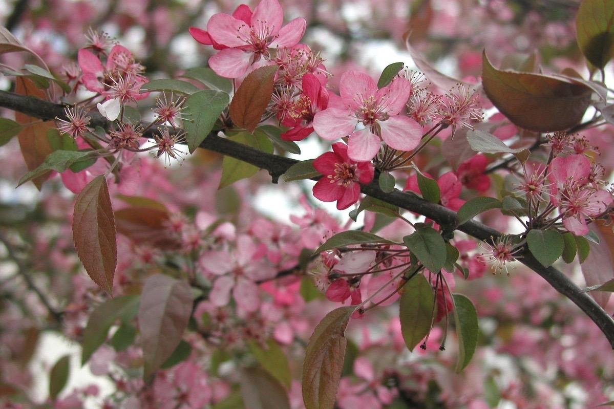 Pommiers d'ornements : Malus coccinella Courtarou
