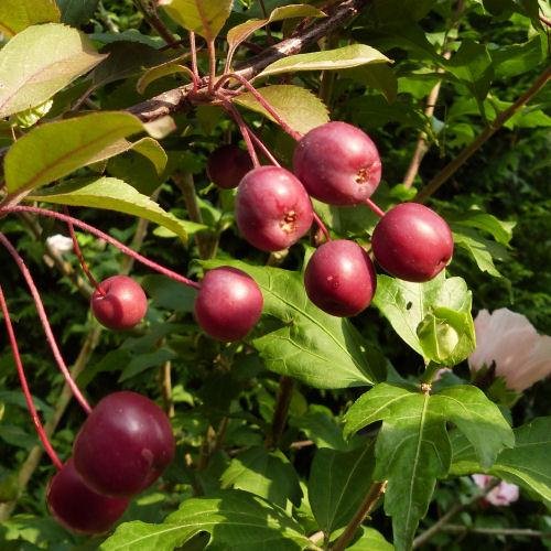 Pommiers d'ornements : malus coccinella - pommes