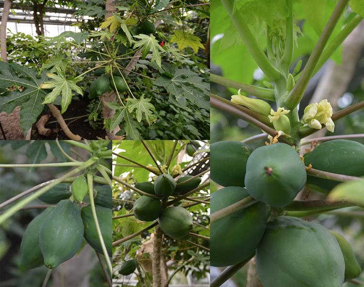 Chèvreloup - papayes