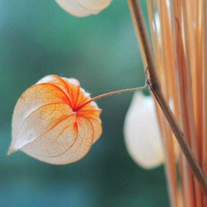 physalis-sec-fleur--tataks