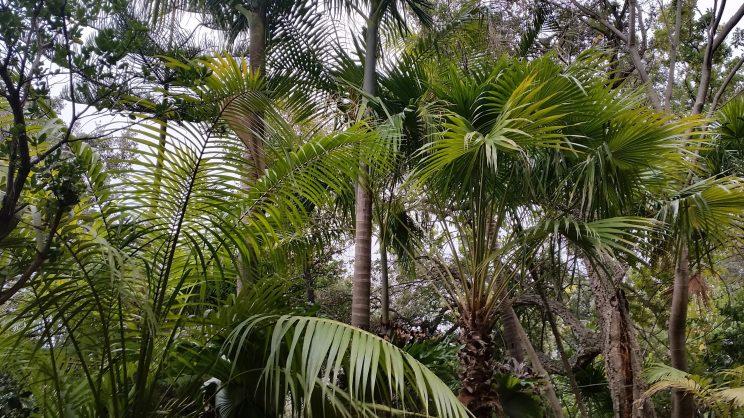 Quelques palmiers australiens