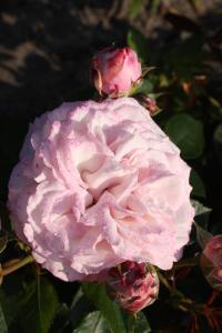 """Rosier """"Jardin de Chaumont-sur-Loire"""
