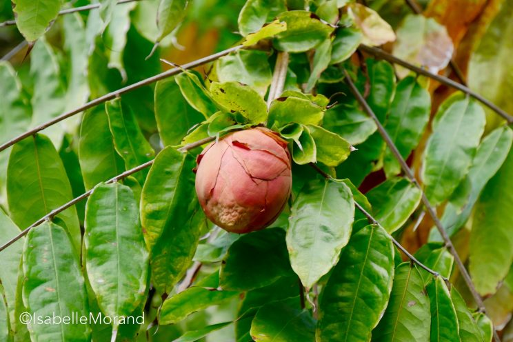 Bouton de rose du Venezuela. Jardin de Pamplemousses. ©I.Morand