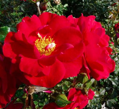 rose-garance-verdun