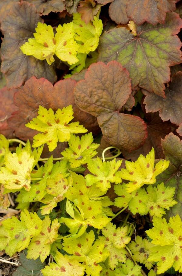geranium et tellima